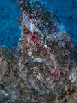 Commerson's Frogfish III