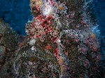 Commerson's Frogfish IV