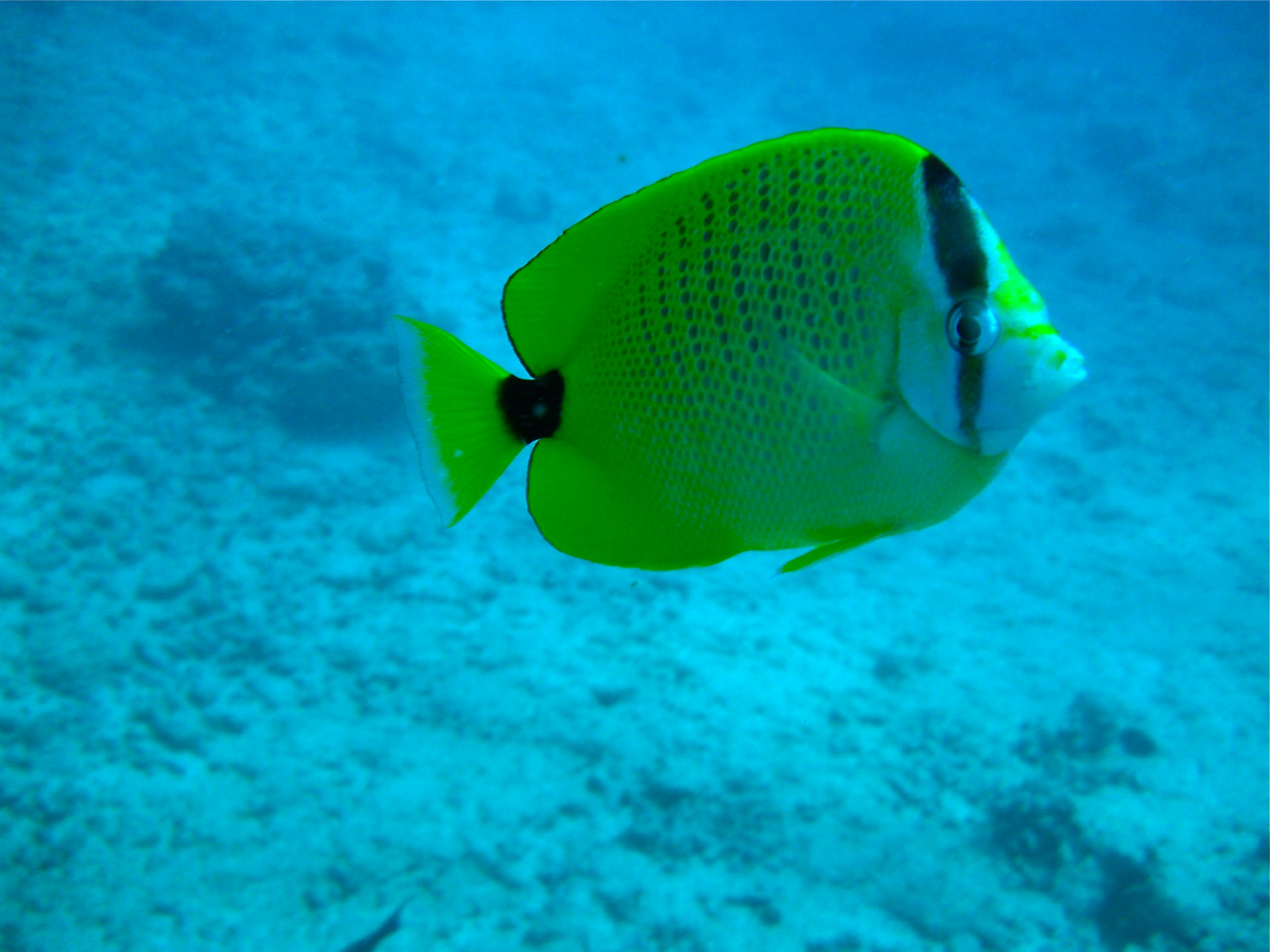 Milletseed Butterflyfish II