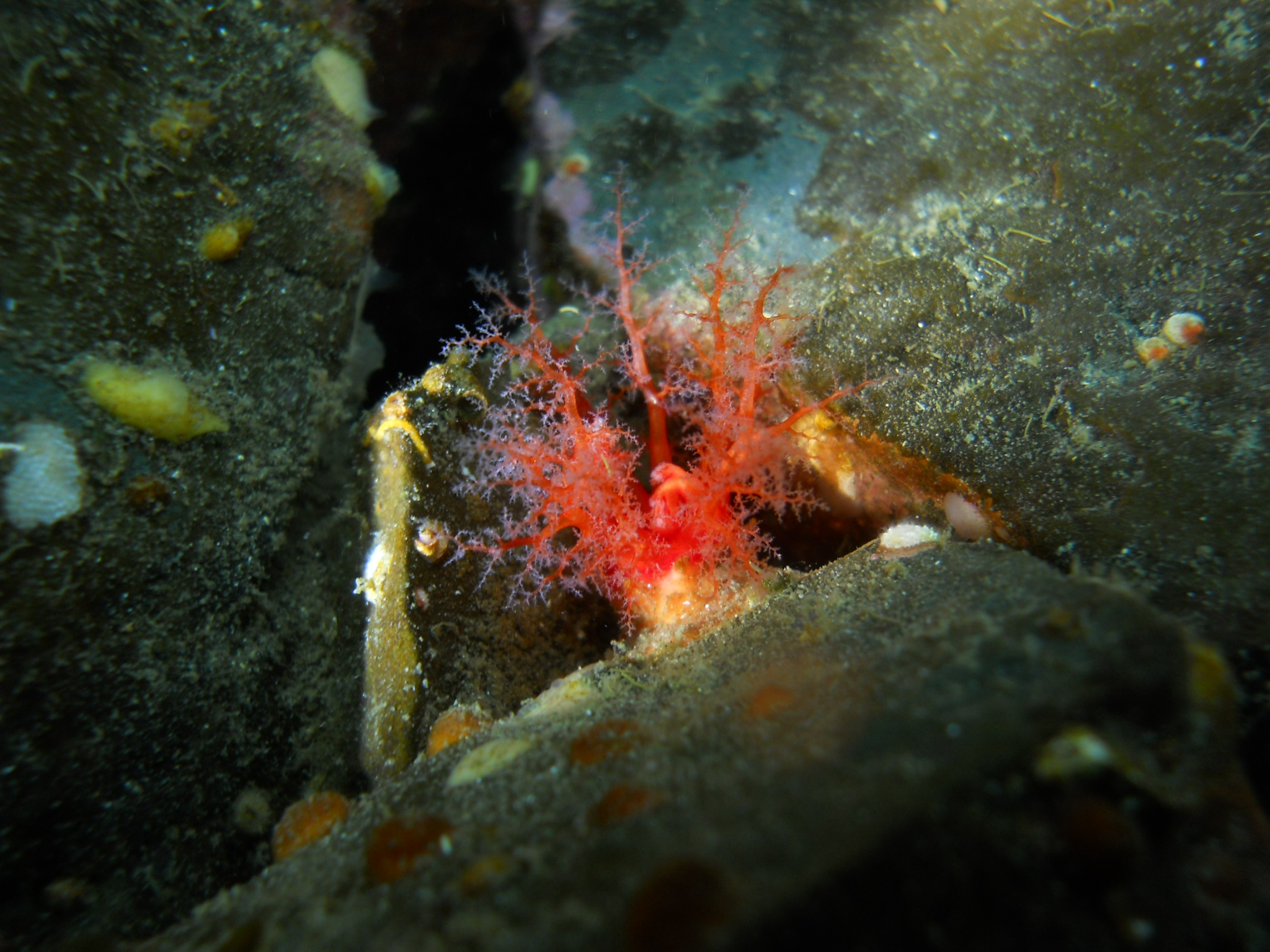 Creeping Pedal Sea Cucumber
