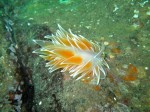 Frosted Nudibranch III