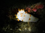 Clown Dorid III