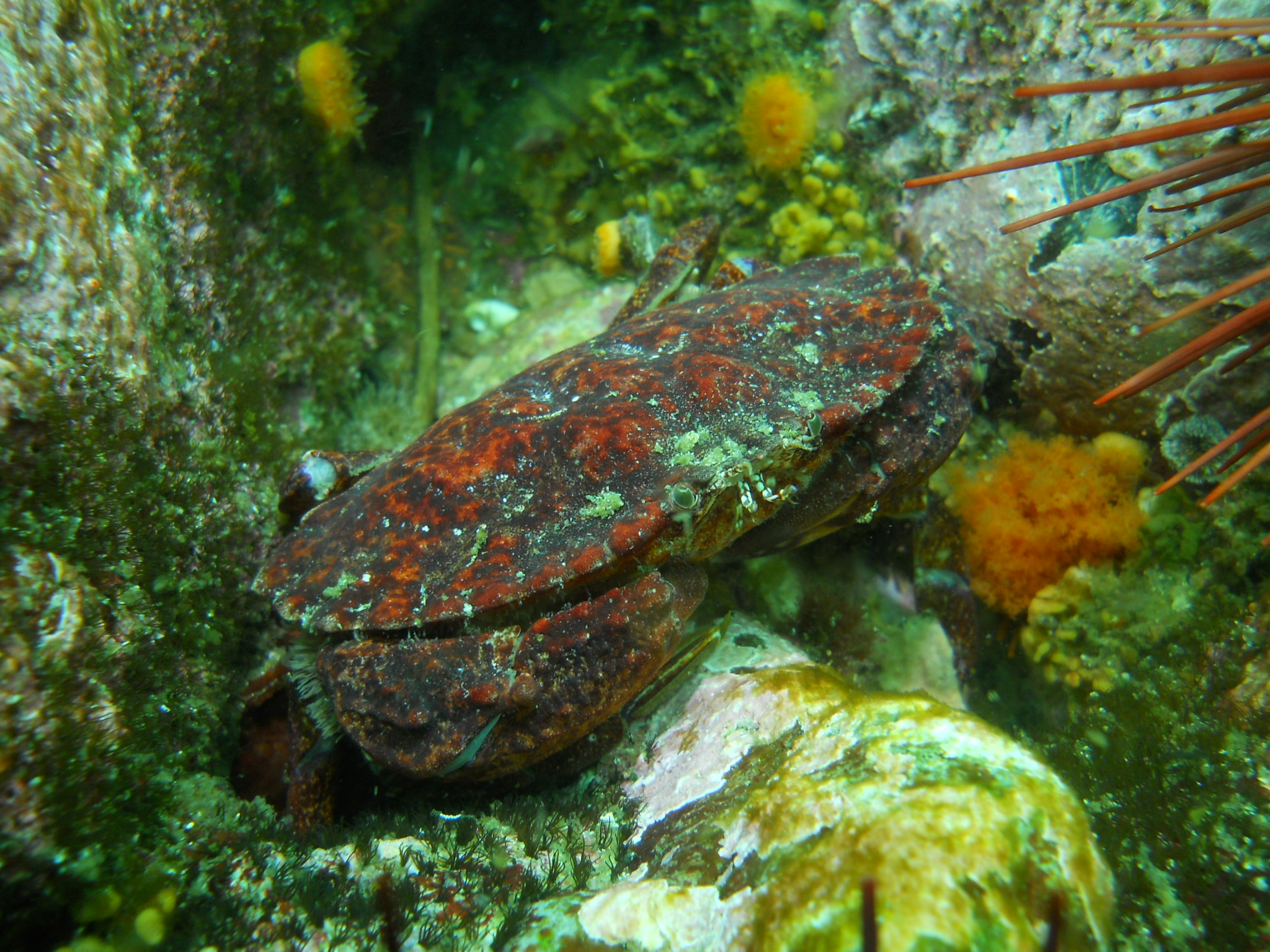 Red Rock Crab II