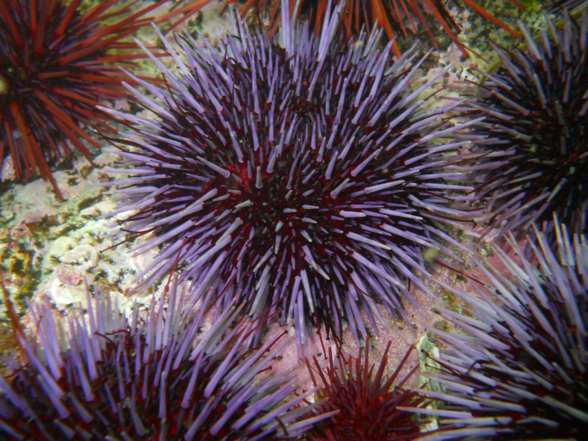 Purple Sea Urchin II