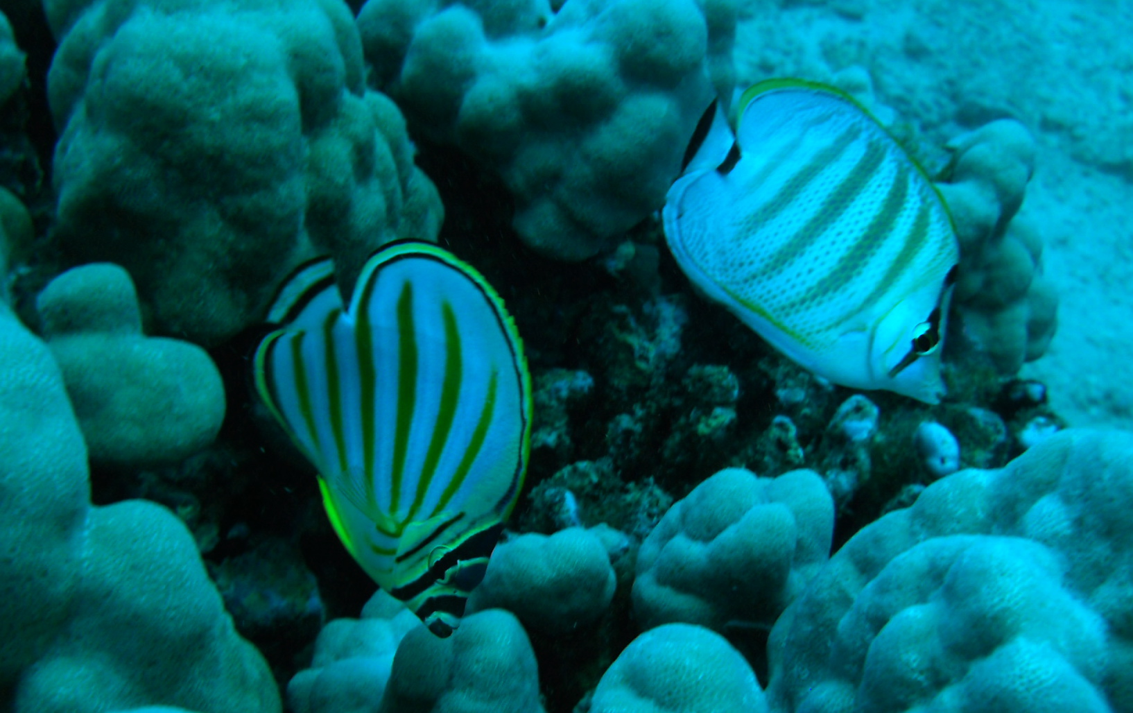 Ornate and Multiband Butterflyfish