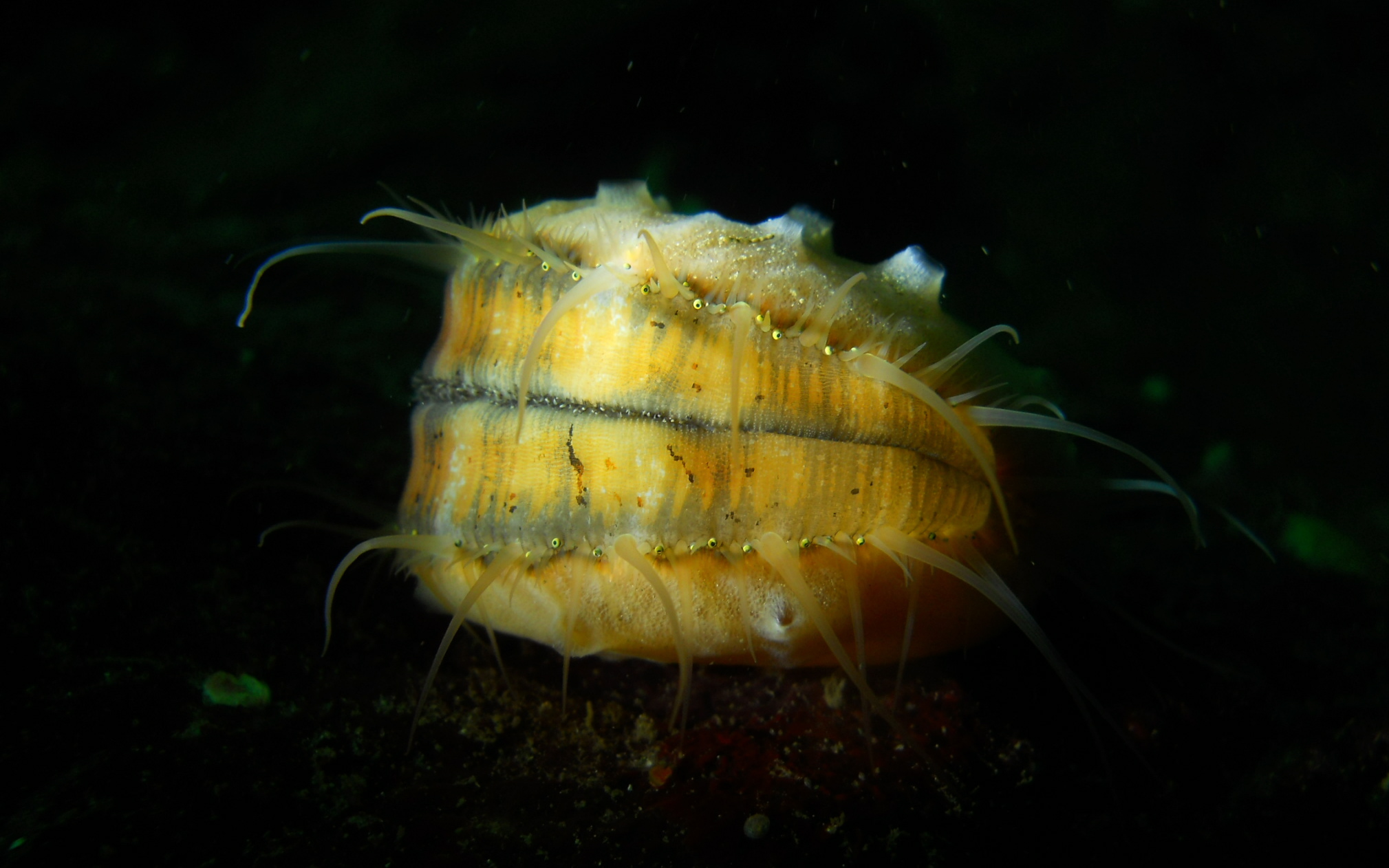 Swimming Scallop