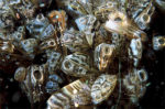 Zebra Mussels Filtering. Image from: https://upload.wikimedia.org/wikipedia/commons/e/e0/Dreissena_polymorpha.jpg